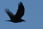 flying-crow_59044